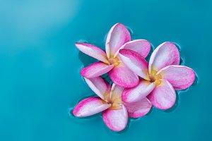 plumeris frangipani flower in pool
