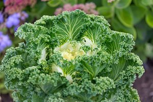 Cauliflower, Fresh decorative cabbag