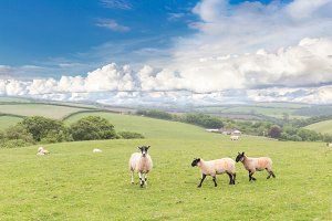 British landscape with sheep, lambs