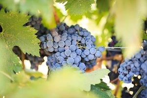 Grapes at Napa Valley Vineyard photo