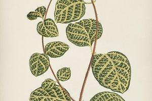 Vintage illustration of a plant