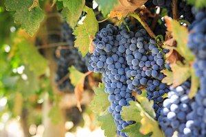 Grapevine at Napa Valley vineyard