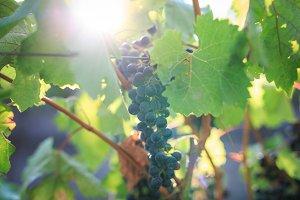 Grapevine at a Napa Valley vineyard