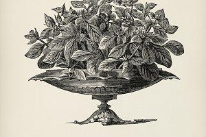 Vintage illustration of plant (PSD)