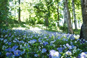 Many blue flowers in a forest glade,