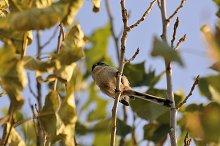 insectivorous bird