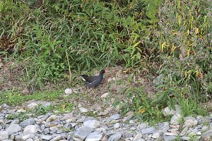 Moorhen in  River