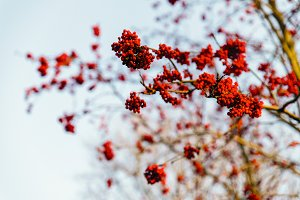 Red mountain ash berry over blue sky