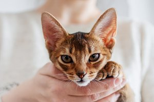 Abyssinian kitten. Cat in her arms,