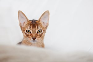 Abyssinian kitten. Close-up portrait