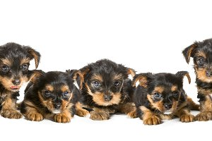 Five puppies breed Yorkshire Terrier