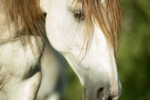 White horse head closeup