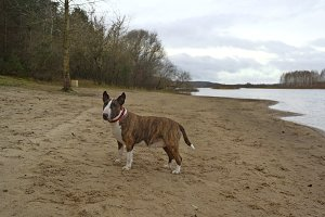 English bull terrier dog on the beach