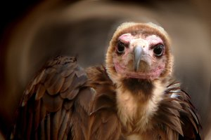 Natural beauty (vulture)