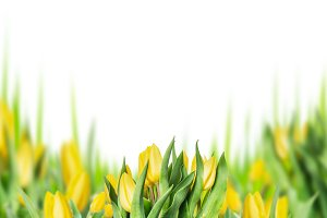 Yellow tulips blooming on white