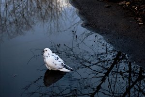lonely dove in a pool