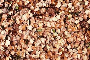 alder leaf litter on the ground