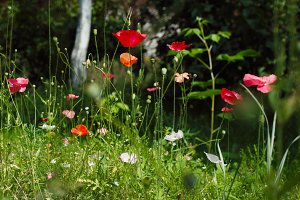 decorative poppies in summer