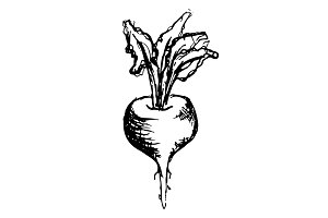Beet vegetable sketched art vector