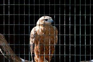 Hawk in zoo