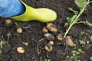 Digging of ripe potatoes.
