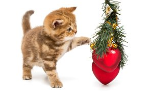 Small British kitten and Christmas