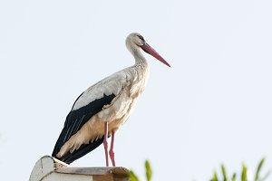Stork resting