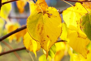 yellowing leaves on the trees