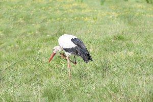 Stork running