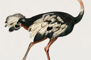 Struthio bird hand drawn (PSD)