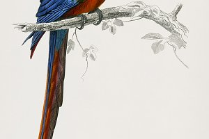 Macaw bird hand drawn (PSD)