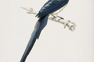 Black-throated magpie-jay bird (PSD)