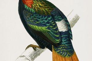 Himalayan monal bird (PSD)