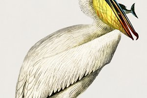 Pelican bird hand drawn (PSD)