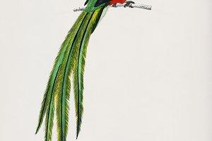 Pavonine quetzal bird (PSD)