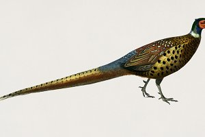 Ring-necked pheasant bird (PSD)