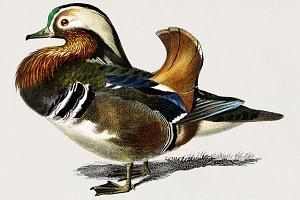 Mandarin duck hand drawn (PSD)