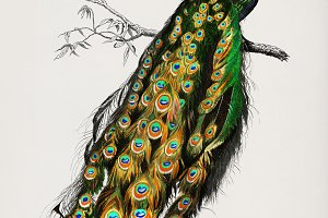 Indian peafowl hand drawn (PSD)