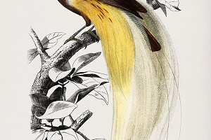 Paradisaea Apoda hand drawn (PSD)