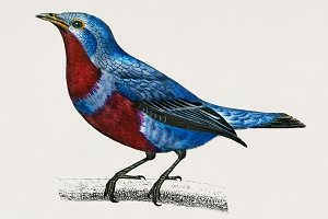 Banded cotinga bird hand drawn (PSD)