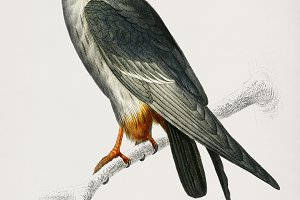 Red-footed Falcon hand drawn (PSD)