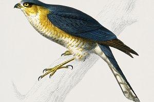 Eurasian sparrowhawk (PSD)