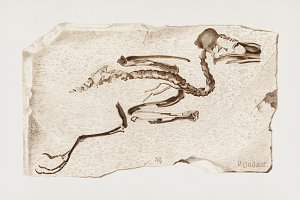 Kingfisher fossils hand drawn (PSD)
