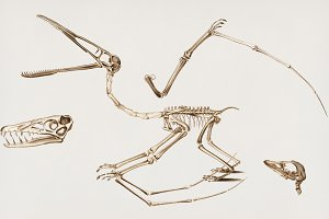 Pterosaur skeleton hand drawn (PSD)