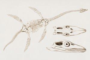 Plesiosaurus skeletons (PSD)