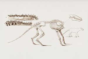 Ungulate skeletons hand drawn (PSD)