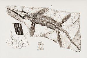Chthyosaurus fossil hand drawn (PSD)