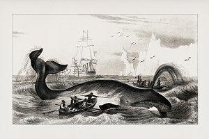 Bowhead whale hand drawn (PSD)