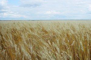 Prairie Wheat Field