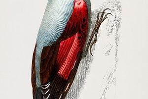 Wood Nuthatch bird hand drawn (PSD)